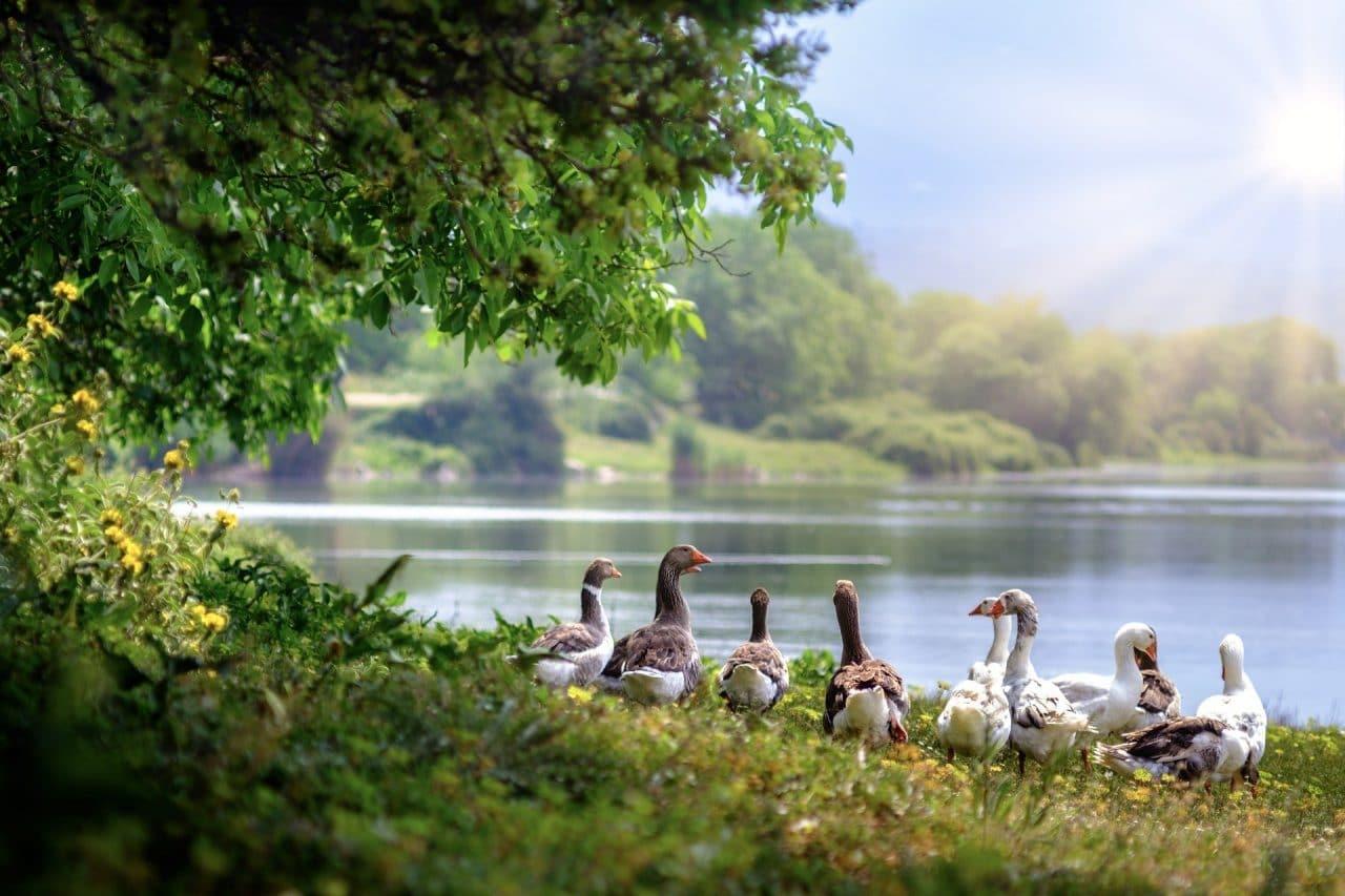 Žąsys Prie Ežero